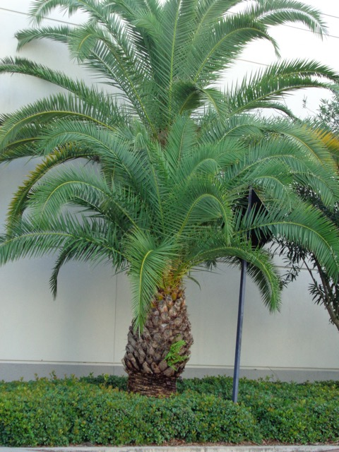 This was a tree outside the mall. Kind of looks like an overgrown pineapple, doesn't it?