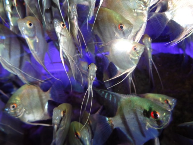These are the fish with the red eyes.