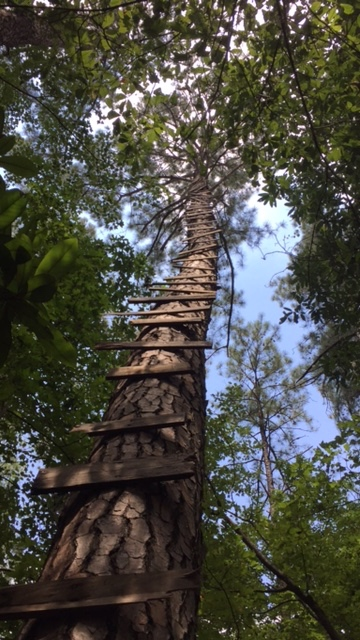 Really tall ladder on a really tall tree!